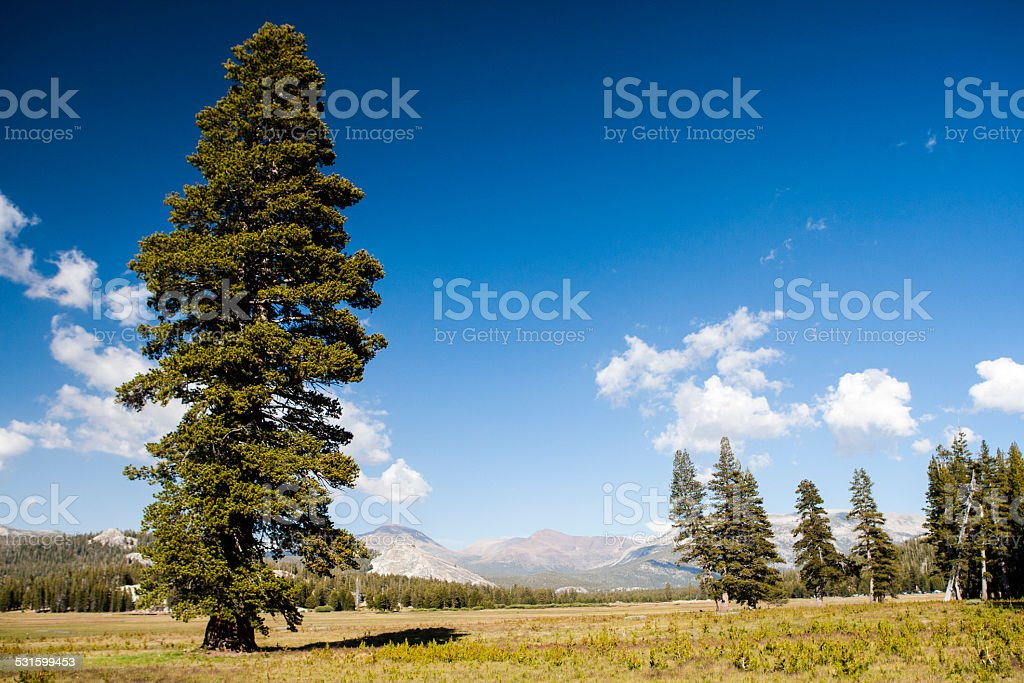Tree at Tioga Road, Yosemite National Park, Sierra Nevada, USA stock photo