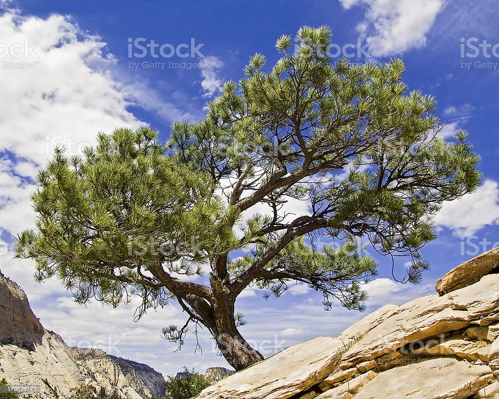 Tree Atop Angels Landing in Zion National Park stock photo