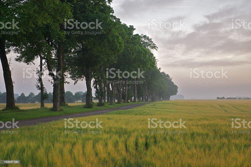 Tree avenue through barley fields royalty-free stock photo