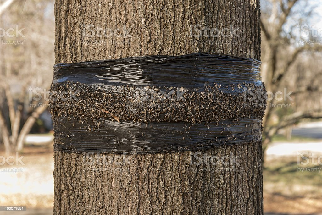 Tree banding for cankerworms stock photo
