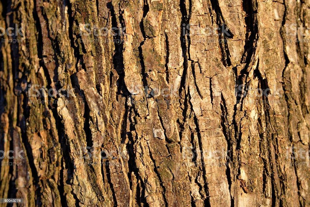 Tree Bark in Sunlight royalty-free stock photo