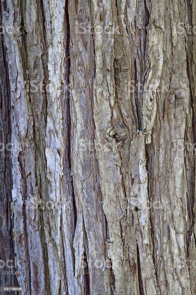 tree bark of a cypress stock photo
