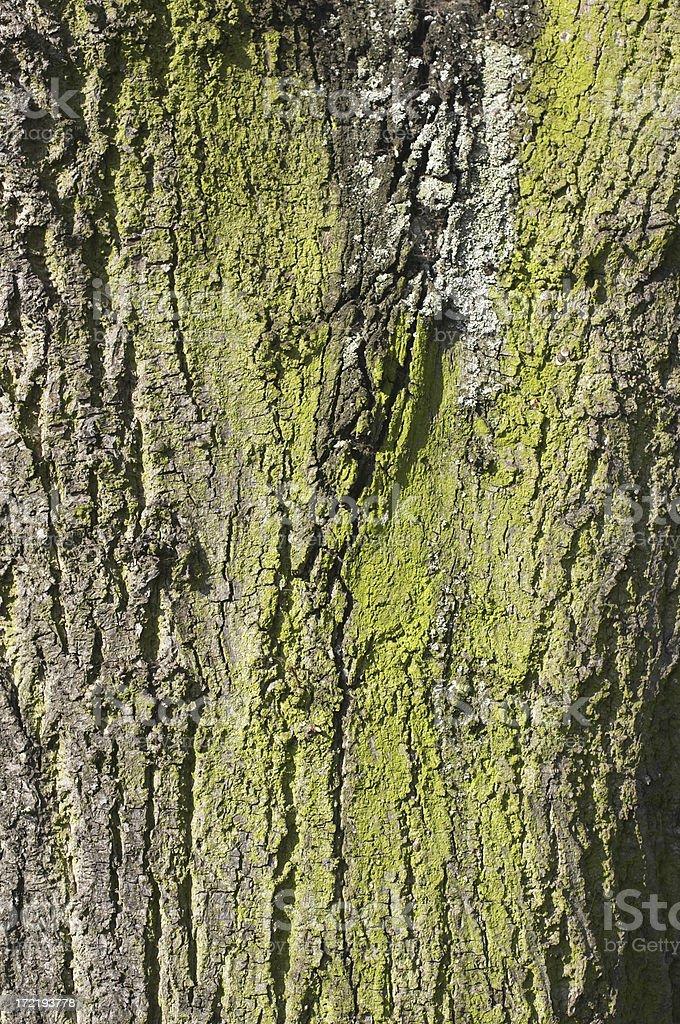 Tree bark shot with powdery green lichen royalty-free stock photo