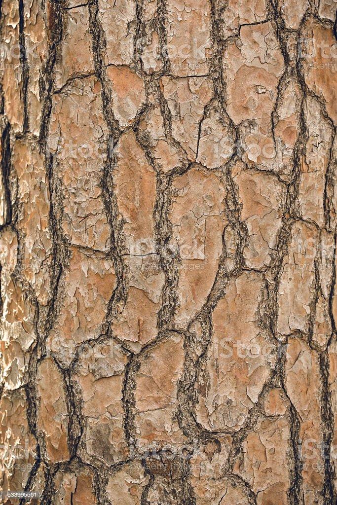 Tree bark texture, may use as background. royalty-free stock photo