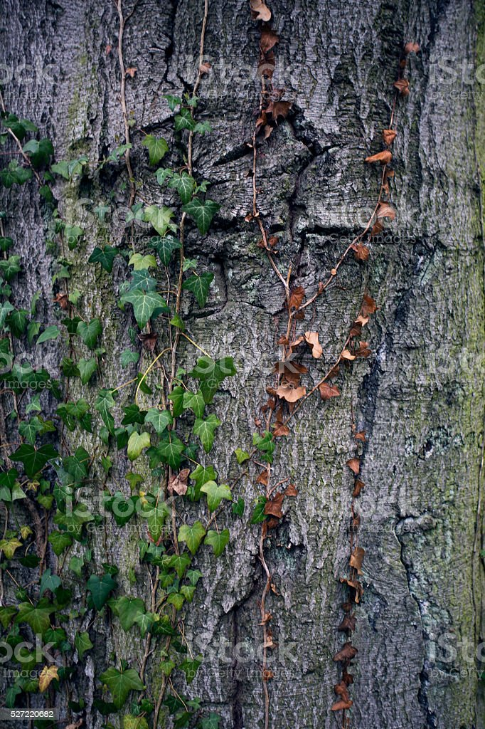 Tree bark texture. Tree trunk. Old wooden background. Trunk detail. stock photo