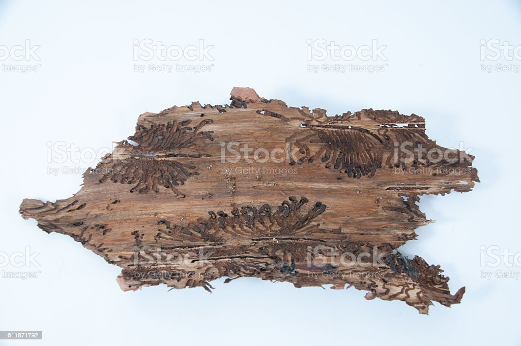 Tree bark with bark beetle traces stock photo