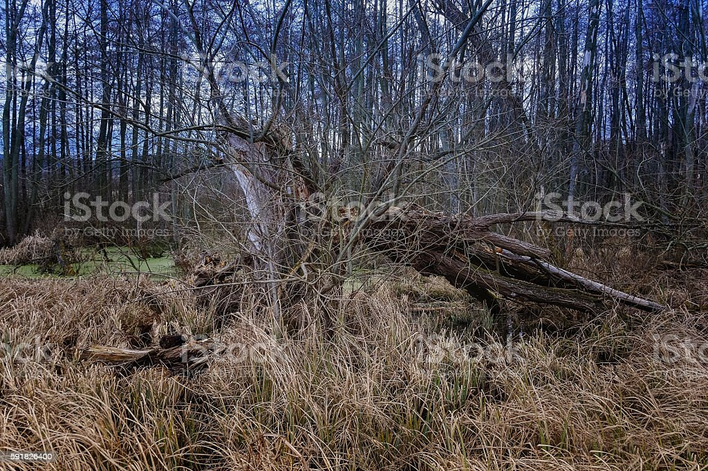 Tree bent by the wind in the Moor stock photo