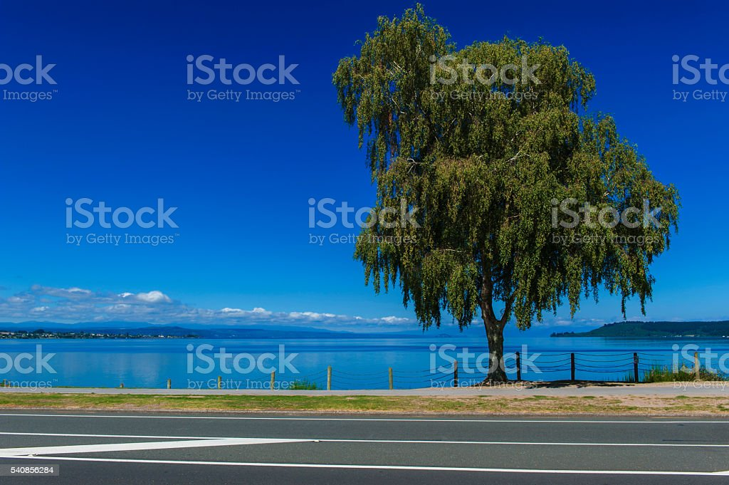 Tree beside Lake Taupo, North Island of New Zealand stock photo