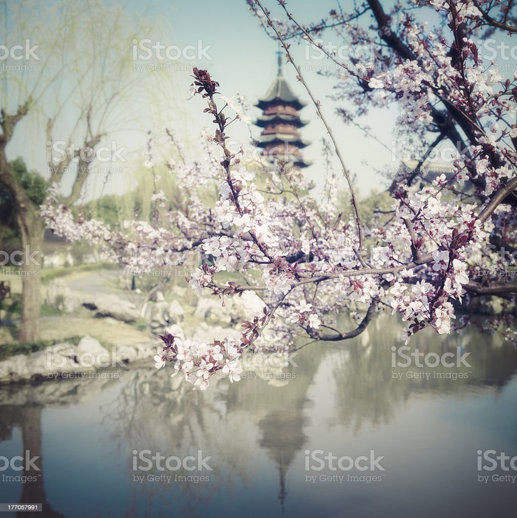 Tree Blossom in China stock photo