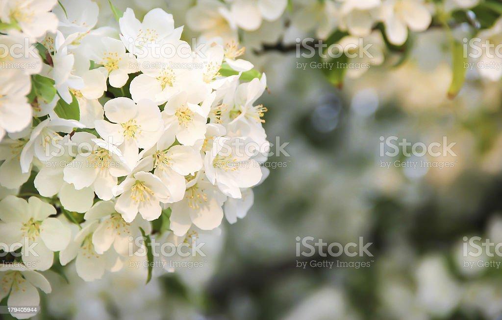 Tree Blossom royalty-free stock photo