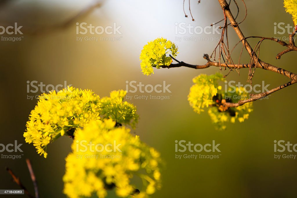tree blossoms royalty-free stock photo