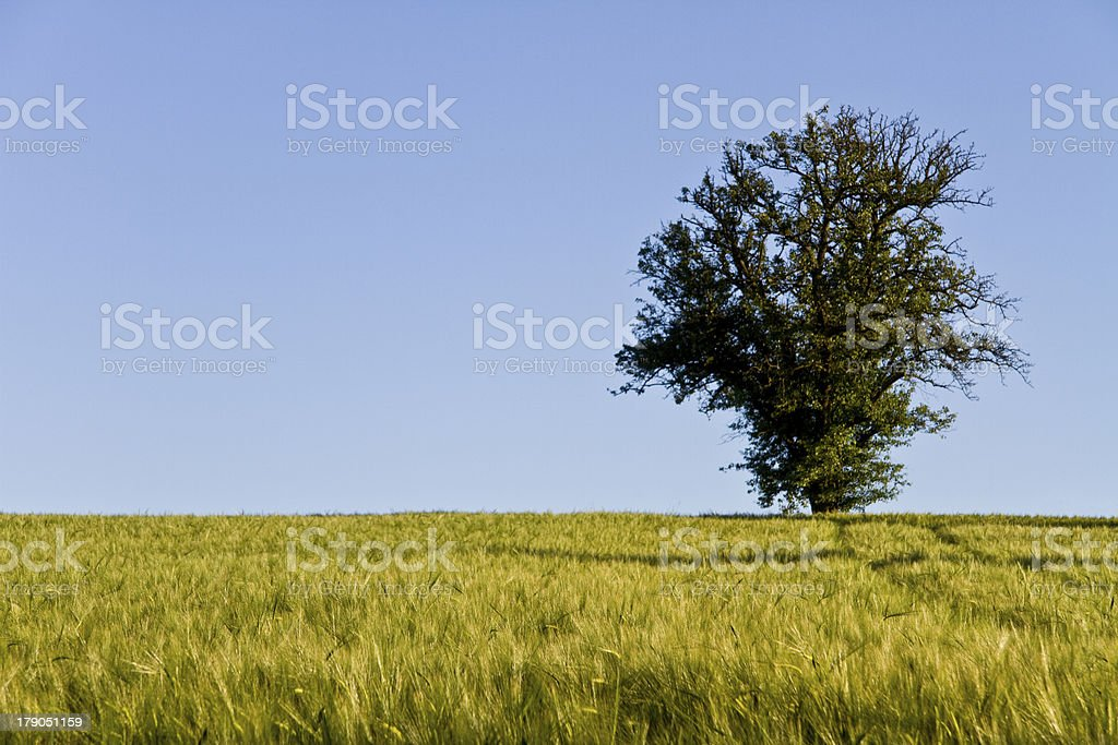 tree, blue sky and grainfield royalty-free stock photo