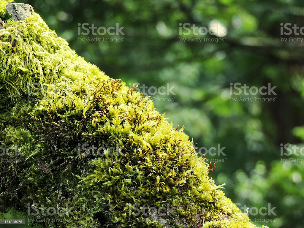 Tree Branch Covered with Green Moss royalty-free stock photo