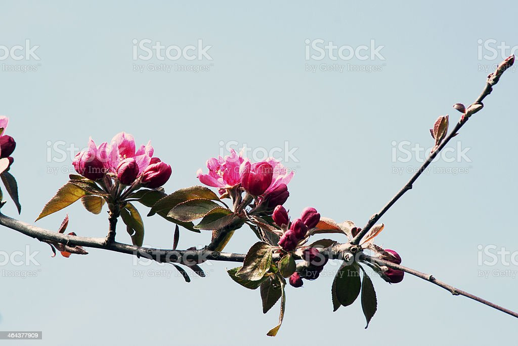 Tree branch in bloom royalty-free stock photo