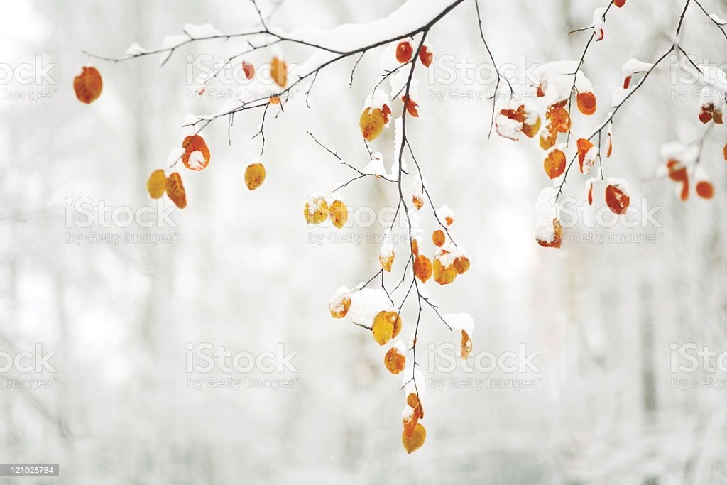 Tree branch with fall leaves covered in snow stock photo