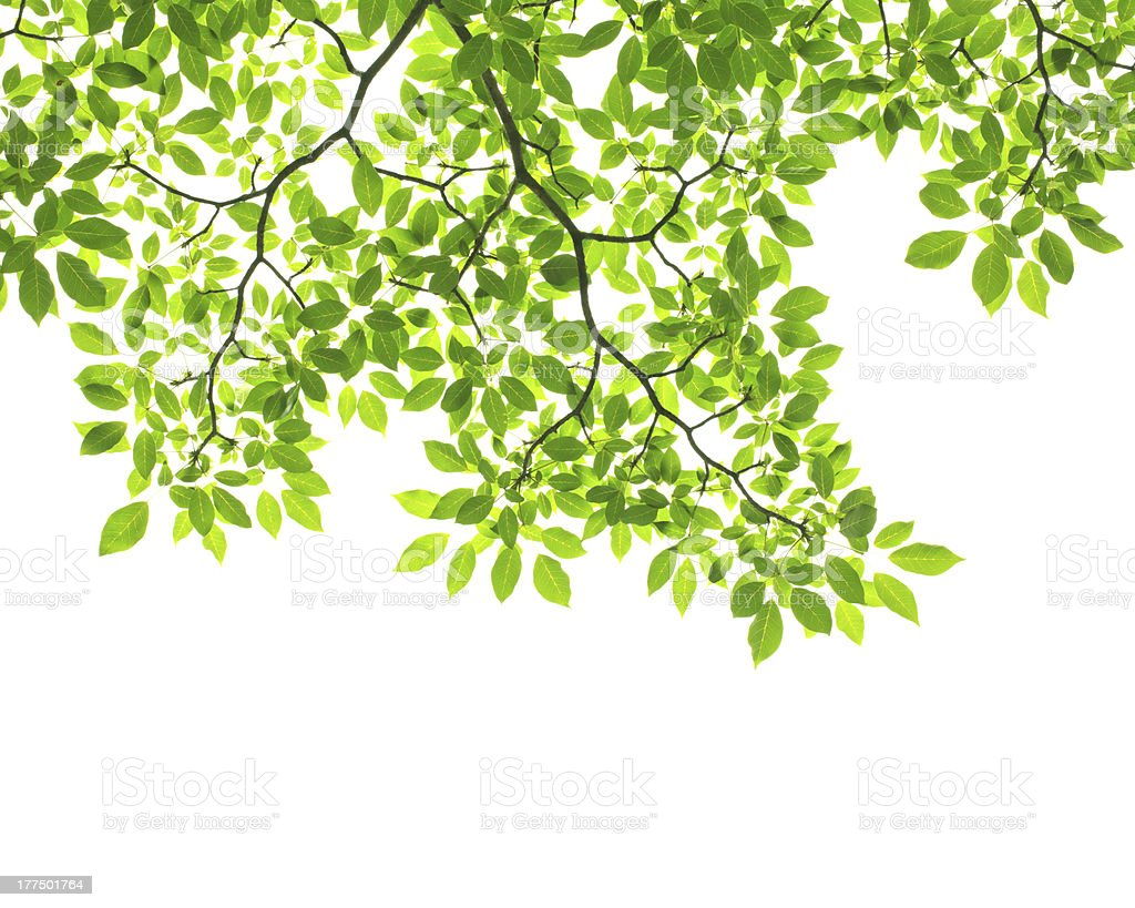 Tree branch with green leaves on white background stock photo