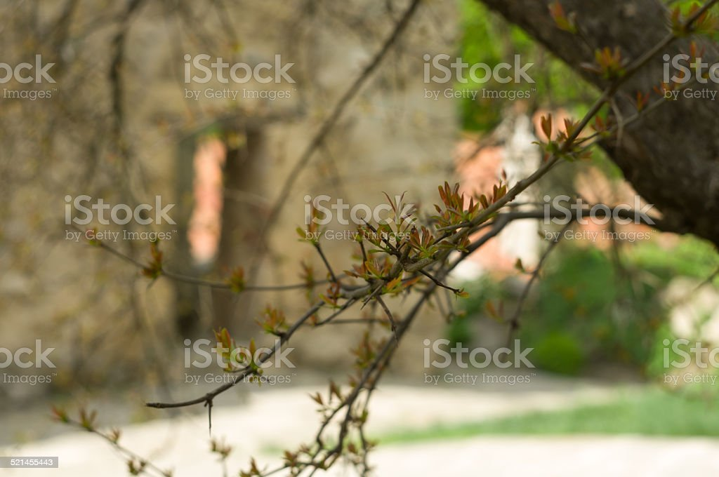 Tree branch with new leaves in a courtyard, Georgia stock photo