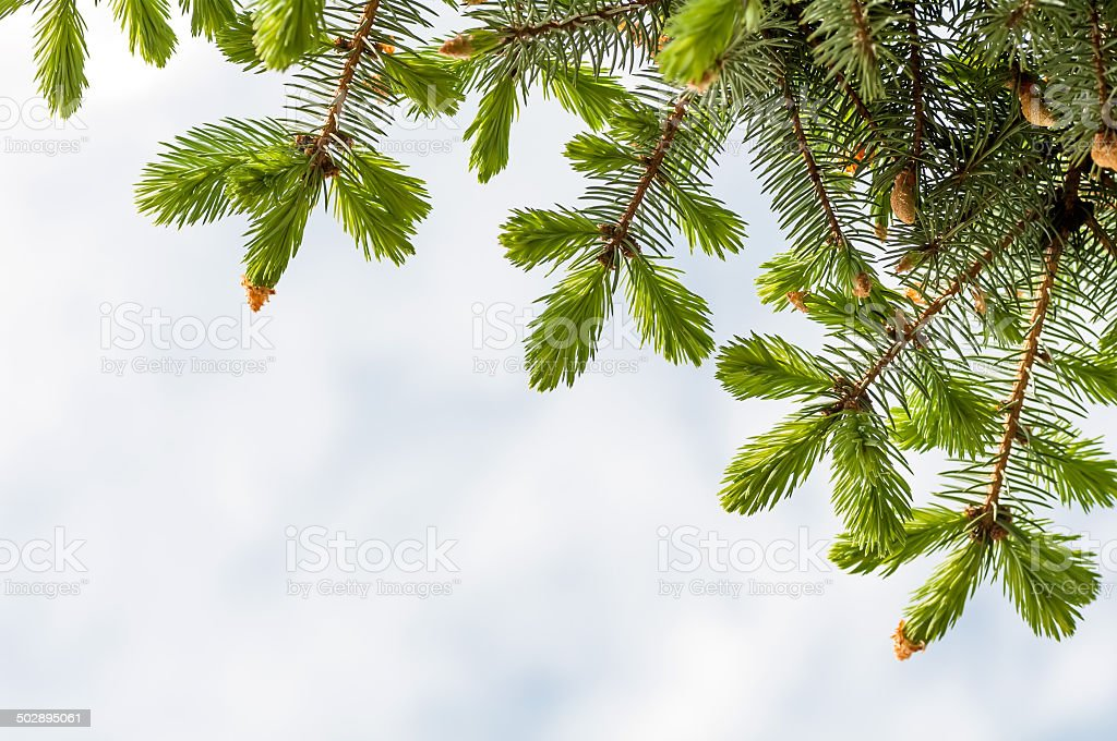 tree branch with young shoots against the sky stock photo