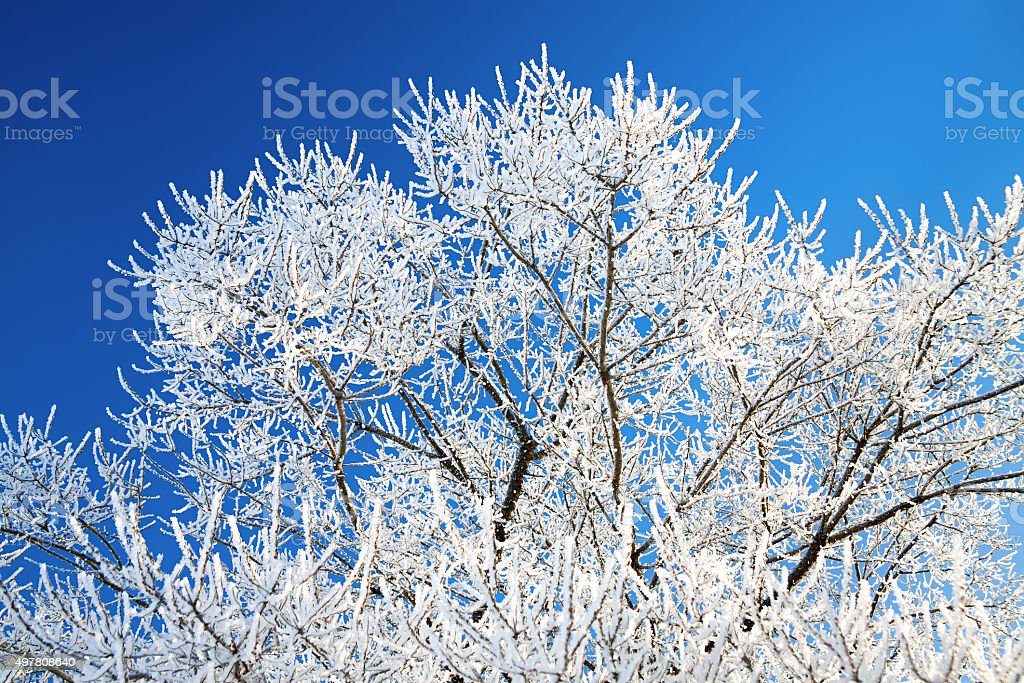 tree branches covered with snow on background the blue sky stock photo