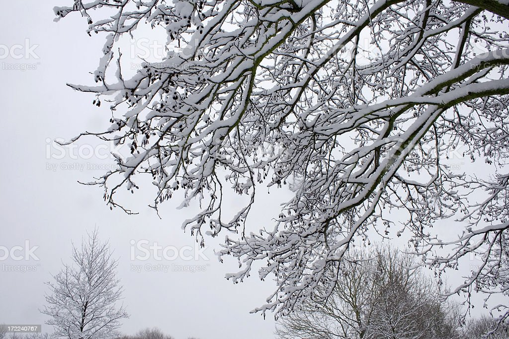 tree branches laden with snow royalty-free stock photo