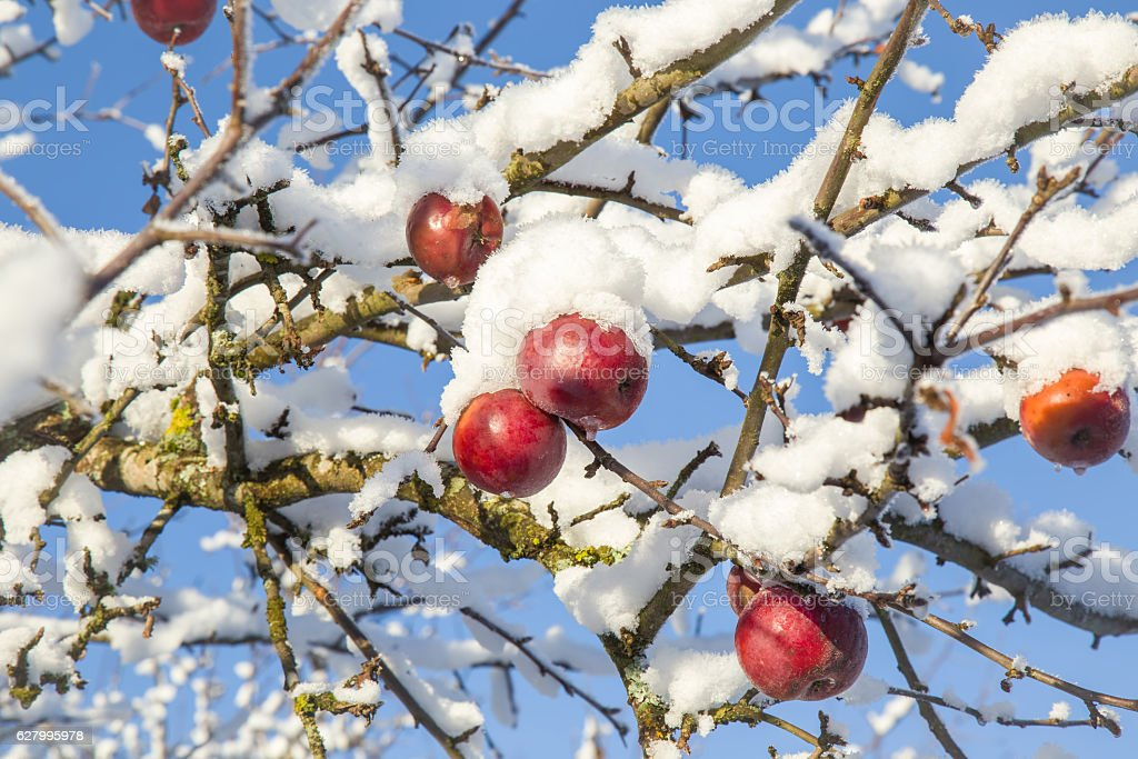 Tree branches with apples are covered with snow. stock photo
