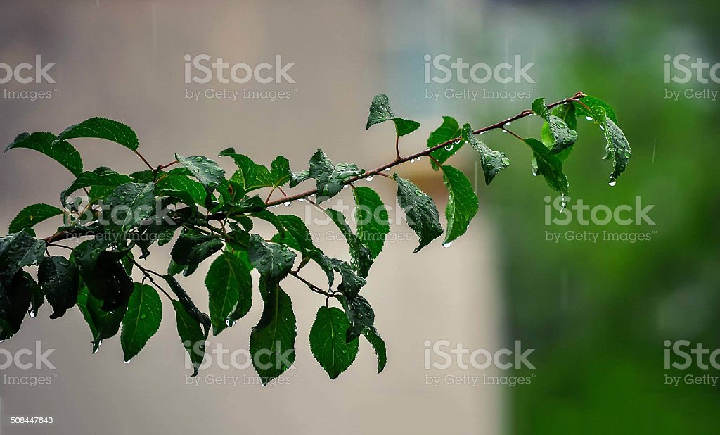 Tree Brench with leaves stock photo