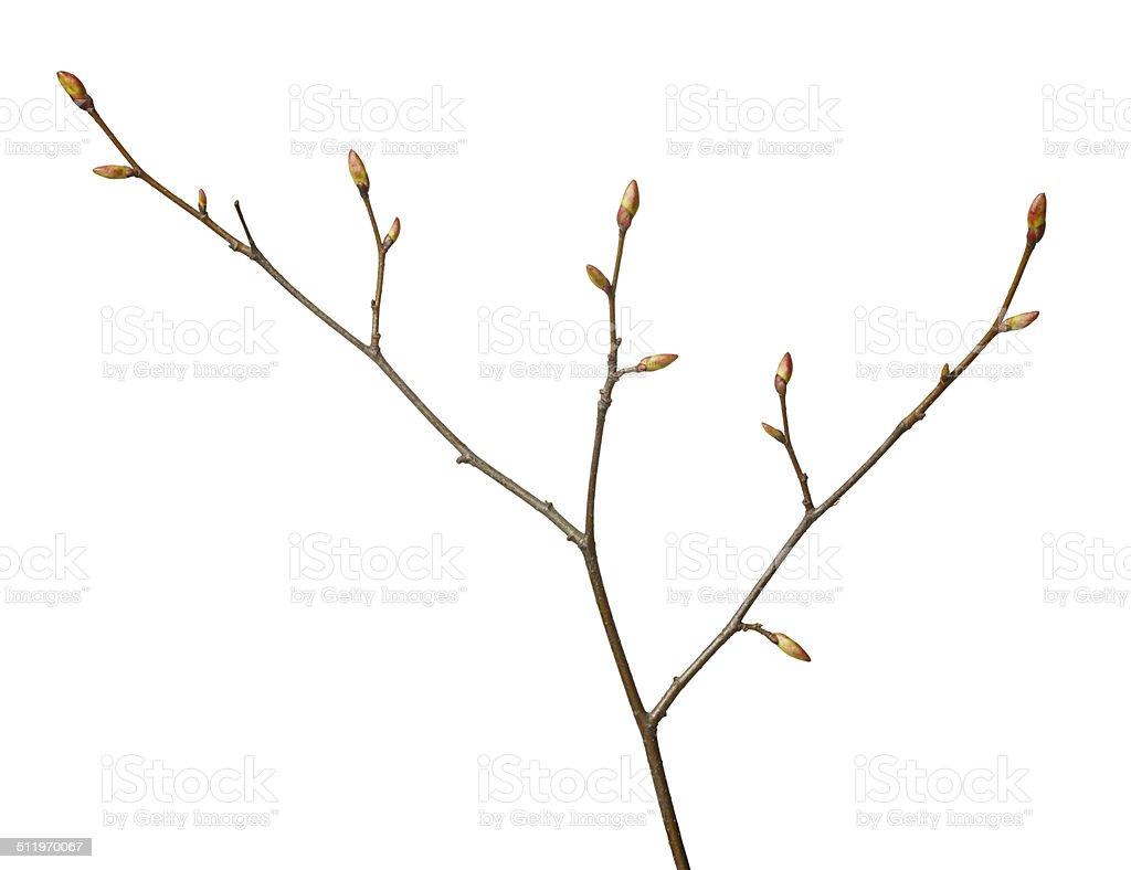 Tree brunch in spring stock photo