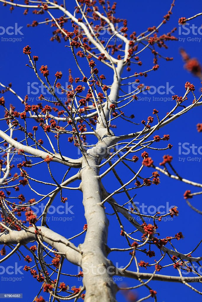 Tree Budding In The Spring XL royalty-free stock photo