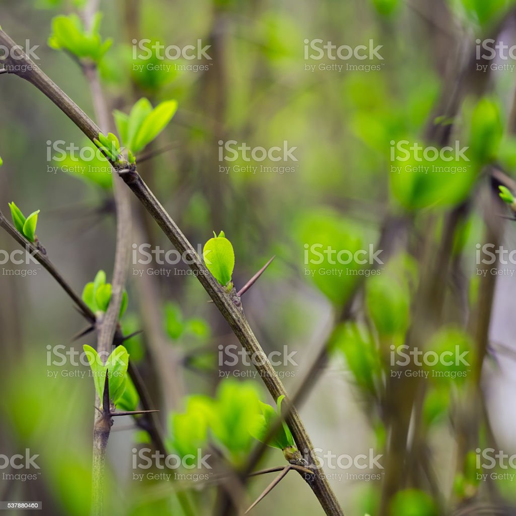 tree buds (young leaves) stock photo