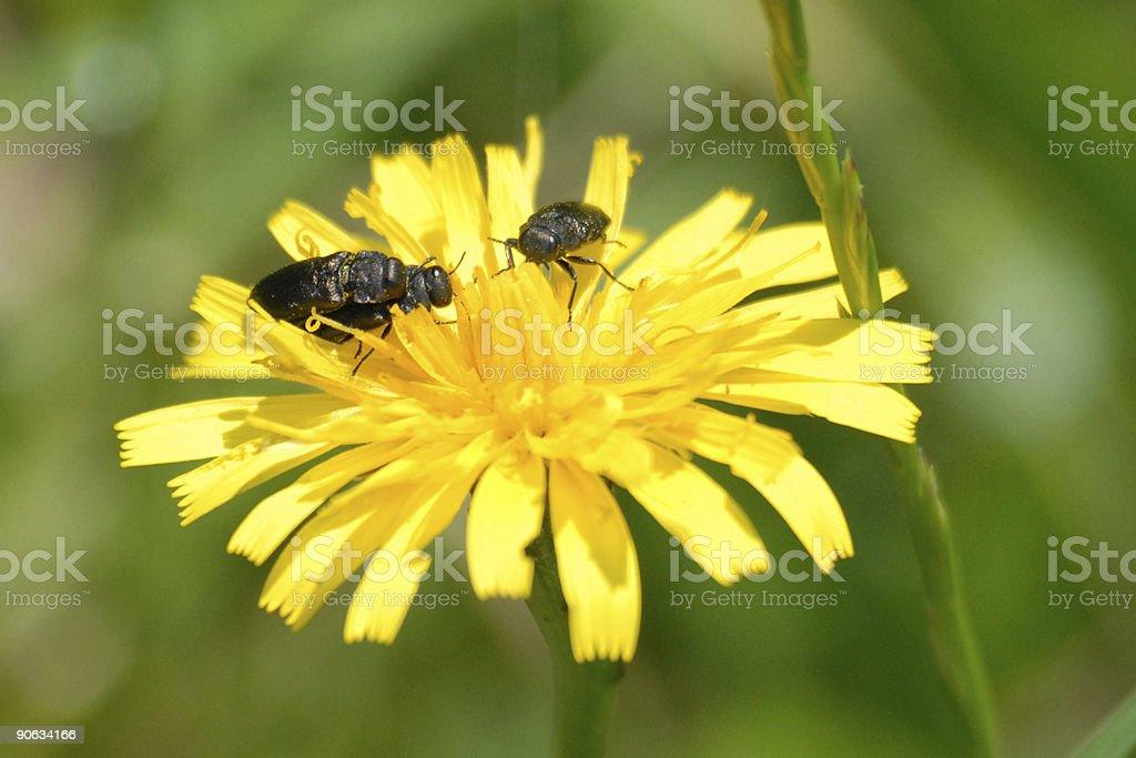 Tree bugs on dandelion stock photo