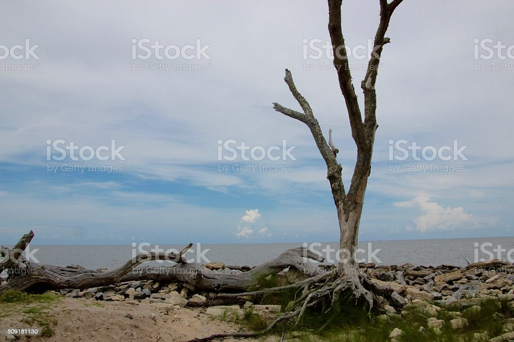 Tree by the Ocean royalty-free stock photo