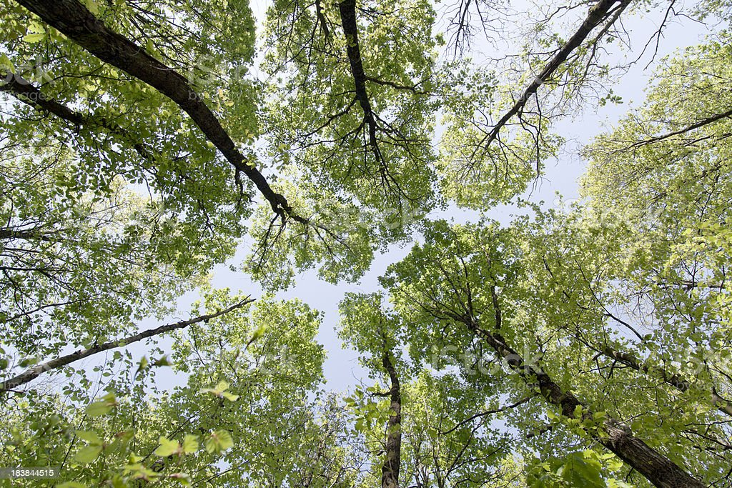 Tree canopy in spring royalty-free stock photo