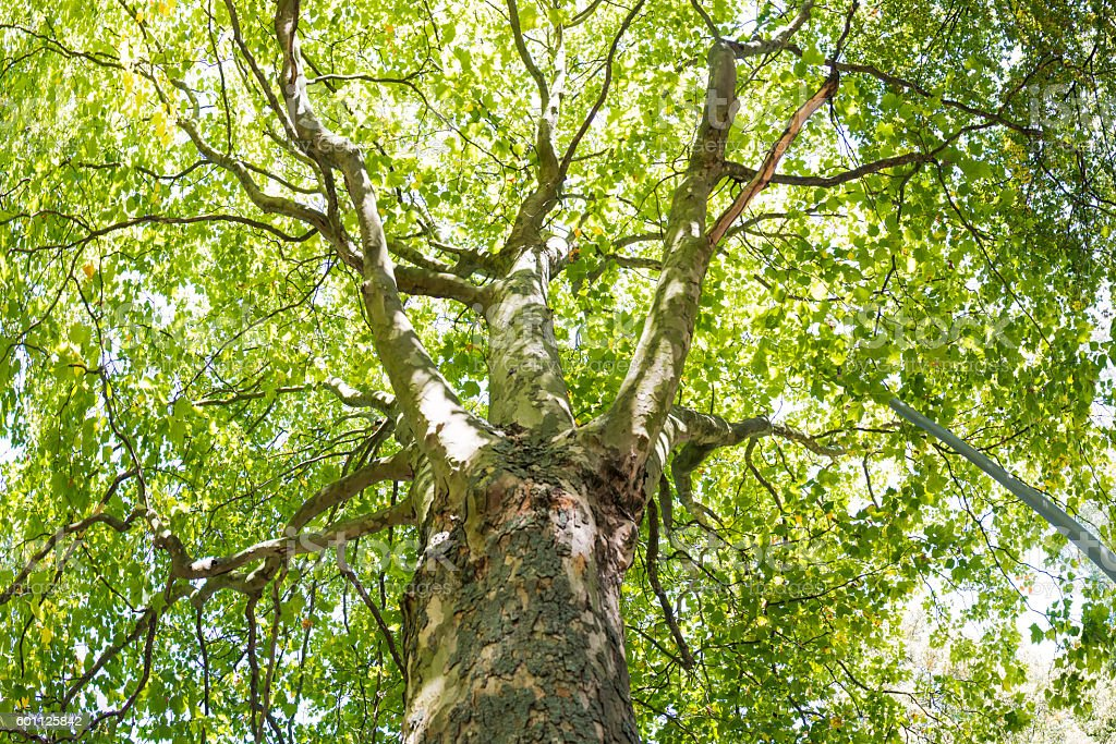 Tree Canopy Panorama Leaves Top Green Sunlight Nature stock photo