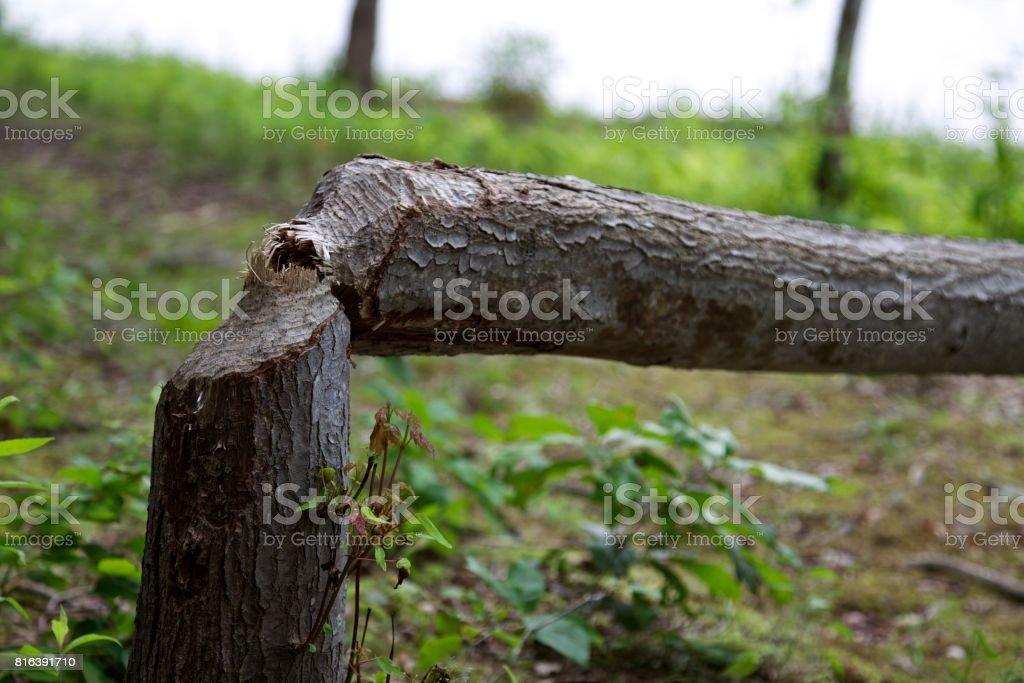 Tree chewed by beavers stock photo