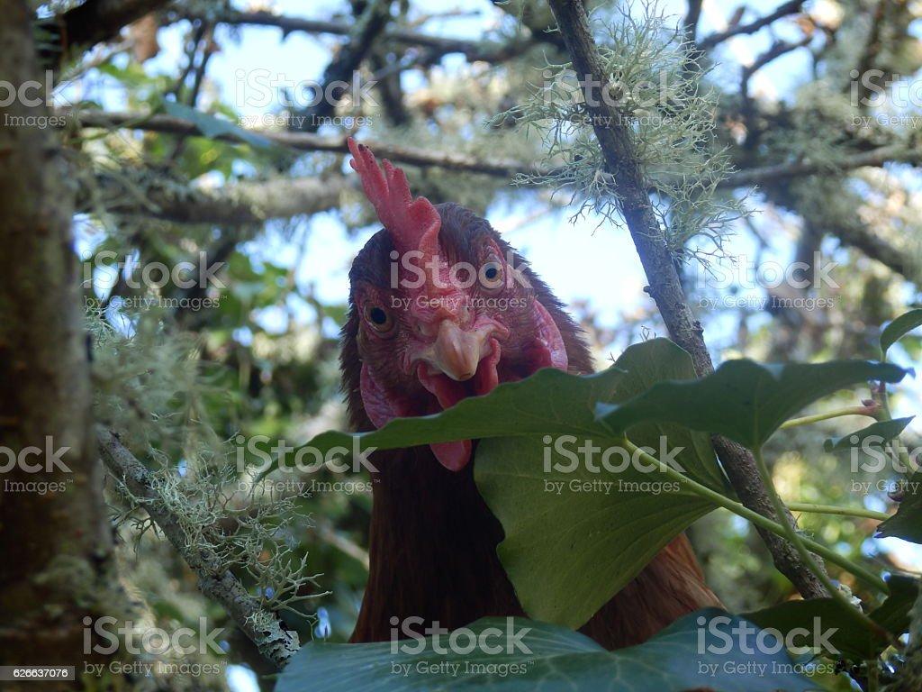 Tree Climbing Chicken stock photo