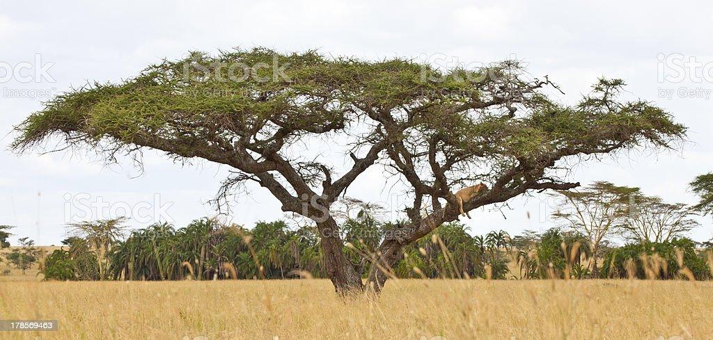 Tree Climbing Lions stock photo