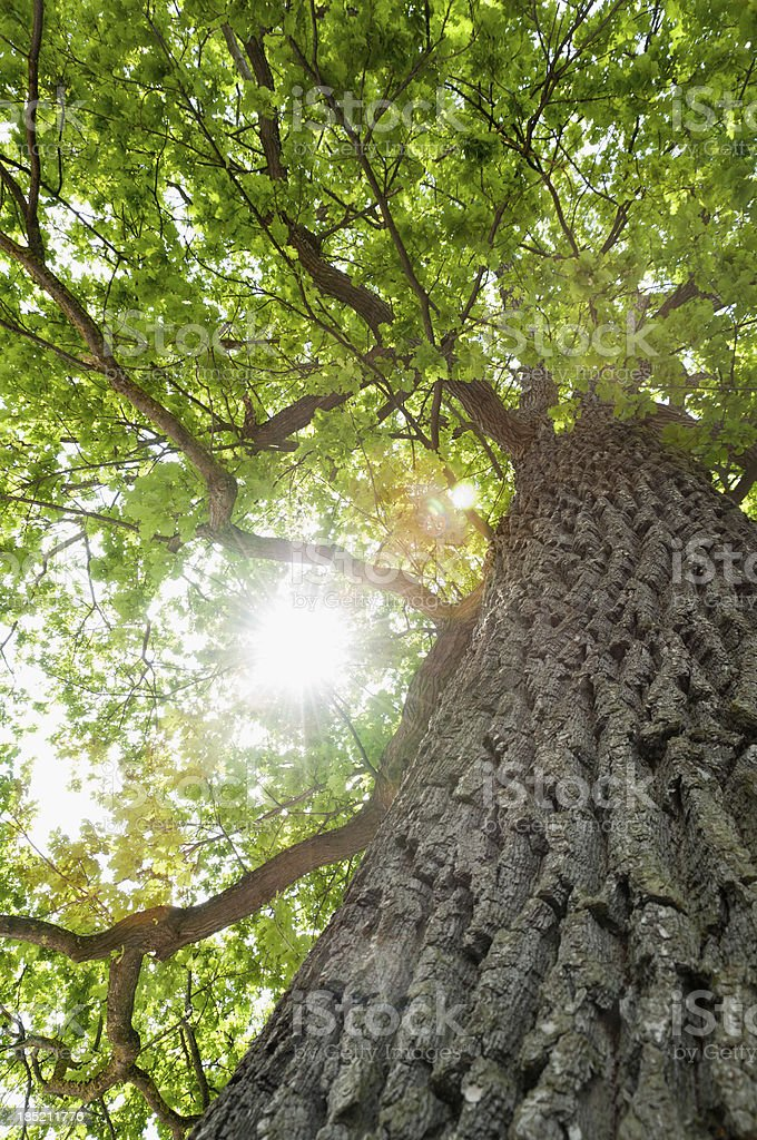Tree, common oak (Quercus robur), photographed from below stock photo