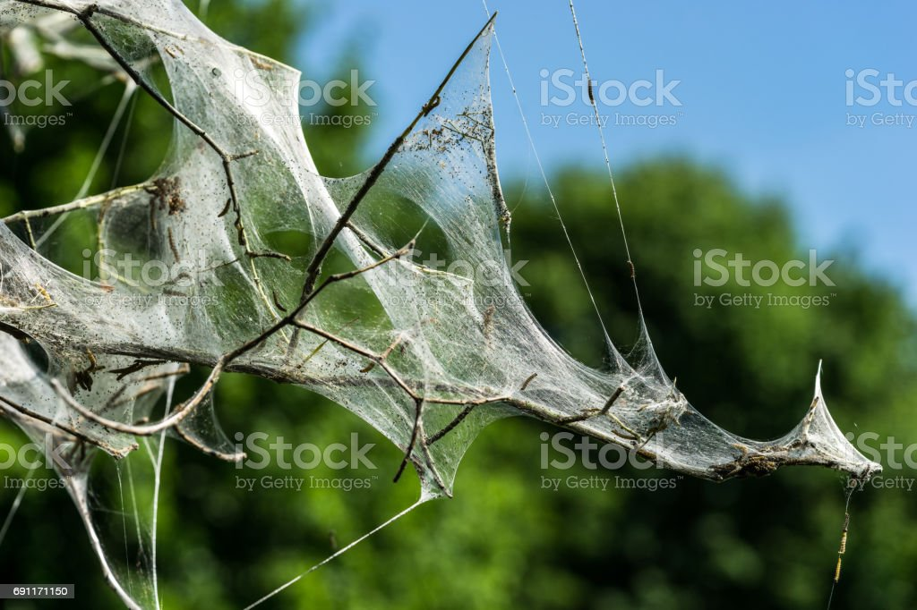 tree covered in silk web by caterpillars stock photo