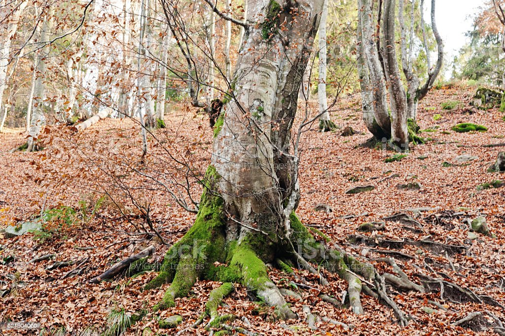 Tree covered on moss at autumn forest on mountains. stock photo
