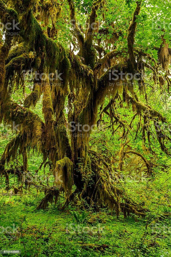 Tree covered with moss in the rain forest stock photo