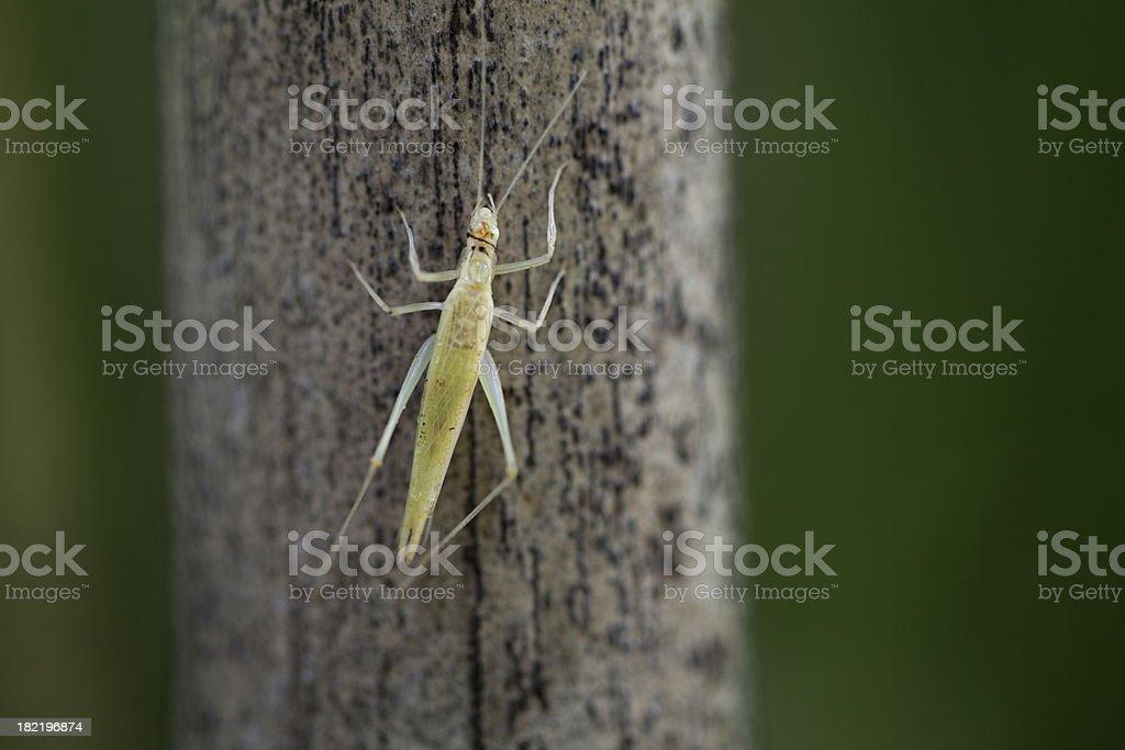 Tree Cricket (Oecanthinae) on Bamboo stock photo