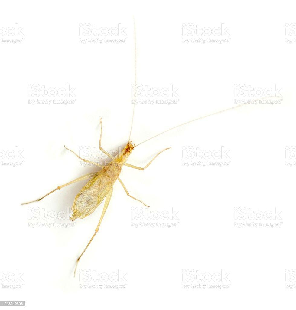 Tree Cricket stock photo