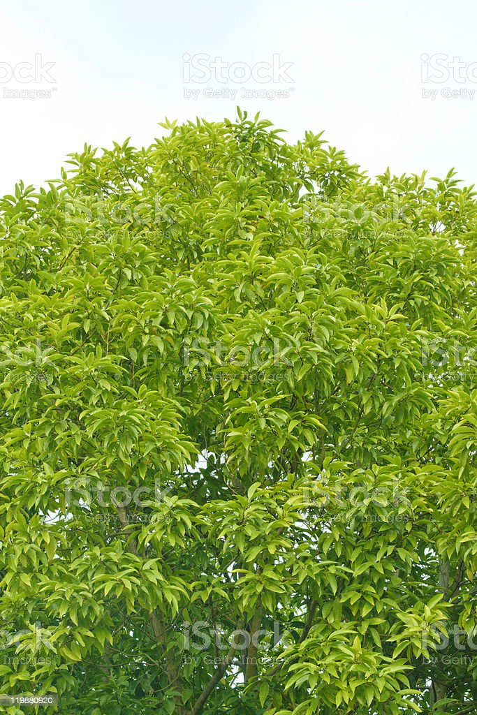 tree crown in temperate zone stock photo