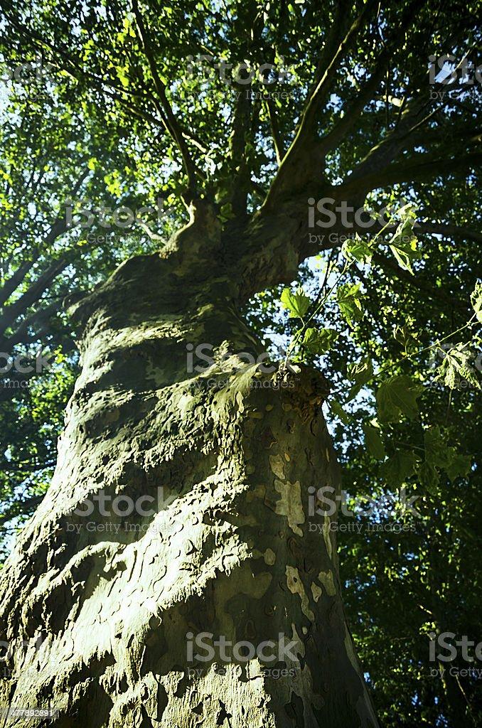 Tree crown royalty-free stock photo