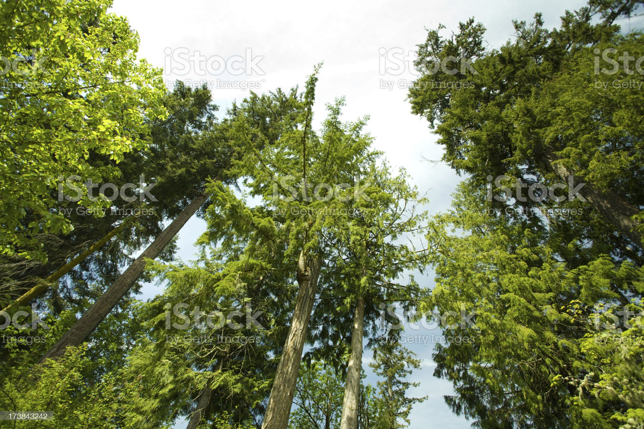 Tree crowns royalty-free stock photo