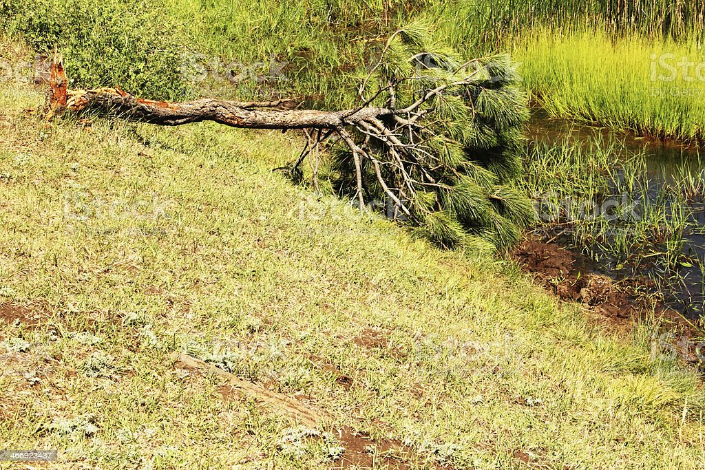 Tree Fallen Storm Marsh Swamp royalty-free stock photo