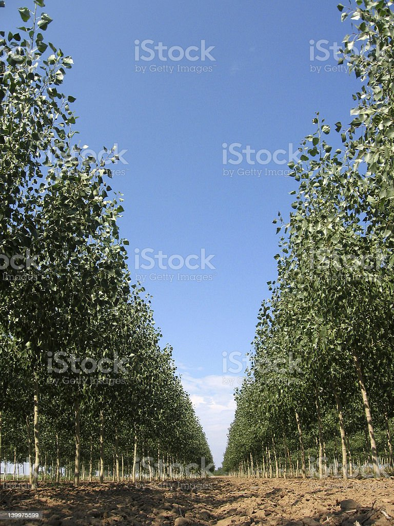 Tree Farm 2 royalty-free stock photo