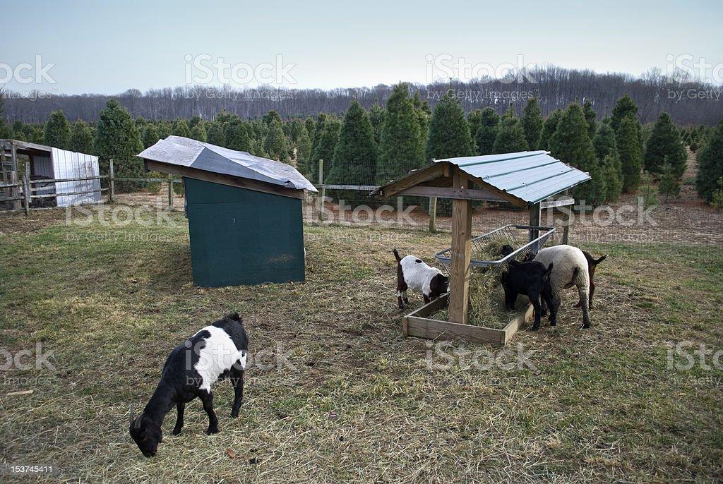 Tree Farm Scene royalty-free stock photo