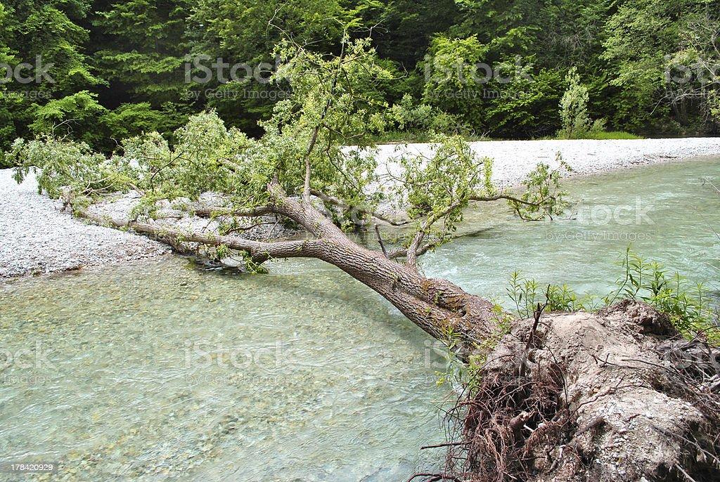 tree fell royalty-free stock photo