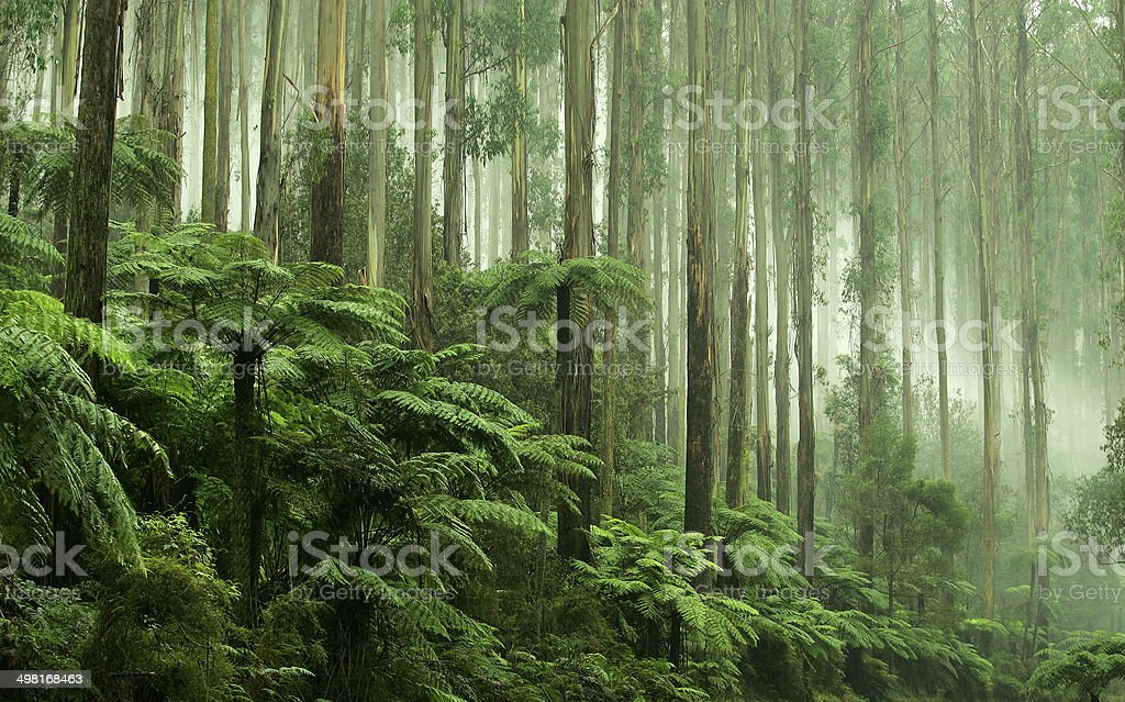 Tree Ferns in Black Spur Drive, Healesville, Victoria stock photo